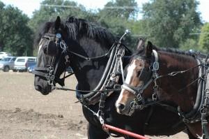 Draft Horses pulling farm equiptment
